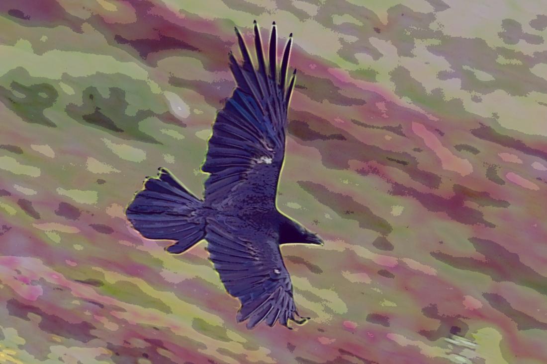 corvus-corax